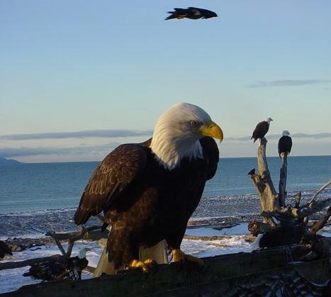 Bald Eagle Posing